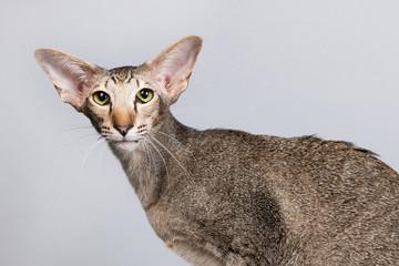 Studio portrait of tabby Siamese cat