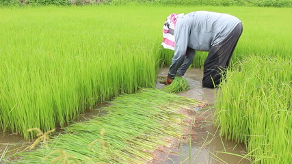 Farmer working in green rice farm in Thailand