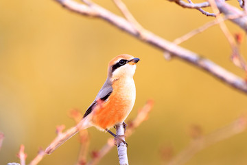 Bull-headed shrike male in Japan