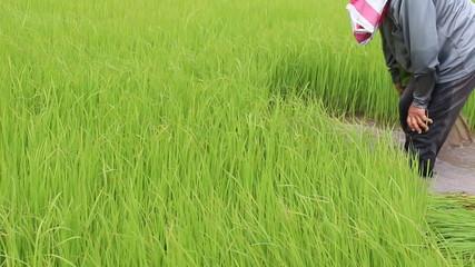 Farmer working in green rice farm in Thailand