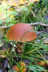 Aspen mushroom.