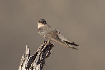 Swallow Sand Martin (Riparia riparia)