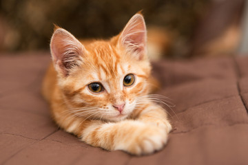 Small  kitten lie on the bed
