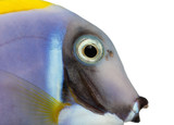 Close-up of a Powder blue tang profile, Acanthurus leucosternon