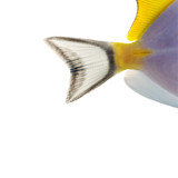Close-up of a Powder blue tang's caudal fin