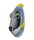 Powder blue tang, Acanthurus leucosternon, isolated on white