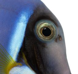 Close-up of a Powder blue tang's head, Acanthurus leucosternon