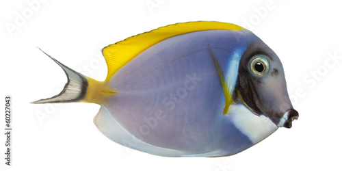 Side view of a Powder blue tang, Acanthurus leucosternon