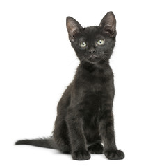 Black kitten sitting, looking up, 2 months old, isolated