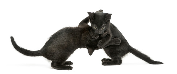 Side view of two Black kittens playing, 2 months old, isolated