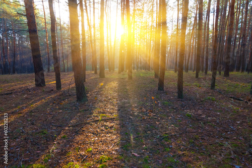 pine forest in a rays of sun