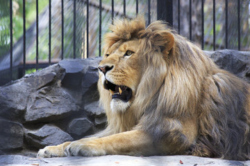 Beautiful lion with open mouth in the aviary.