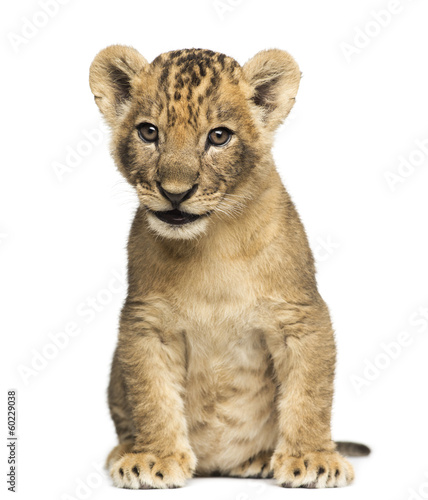 Lion cub sitting, 7 weeks old, isolated on white