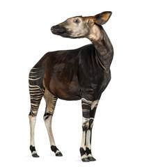 Okapi standing, looking away, Okapia johnstoni, isolated