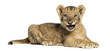 Side view of a Lion cub lying, roaring, 10 weeks old, isolated