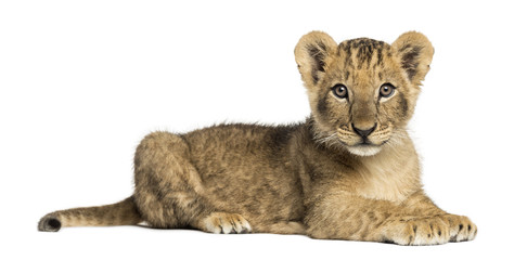 Side view of a Lion cub lying, looking at the camera