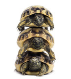 Front view of three baby Hermann's tortoise piled up