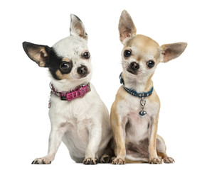 Front view of two Chihuahuas wearing collars, sitting