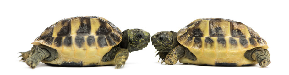 Side view of two baby Hermann's tortoise facing each other