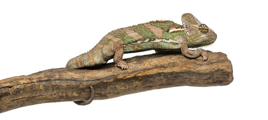 Side view of a Veiled chameleon standing on a branch