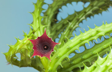 Succulent Stapelia carrion flower