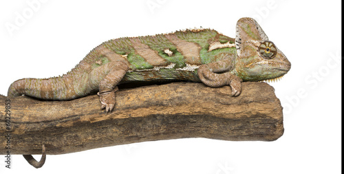 Side view of a Veiled chameleon lying on a branch