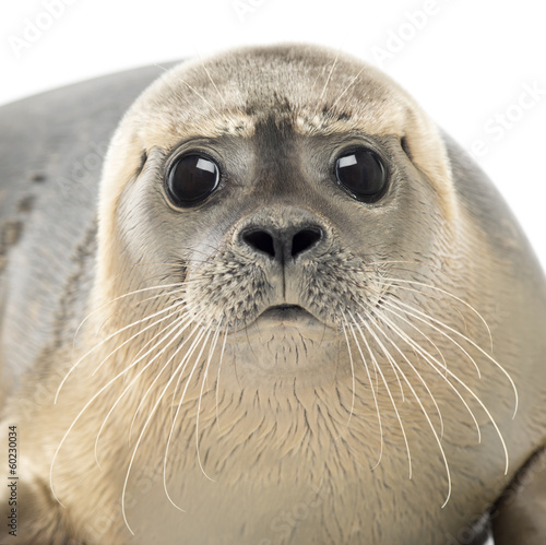 Close-up of a Common seal looking at the camera, Phoca vitulina - 60230034