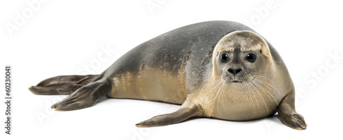 Common seal lying, Phoca vitulina, 8 months old, isolated - 60230041