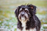 fluffy mixed breed dog portrait