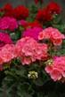 canvas print picture - Balkonbepflanzung mit Geranien