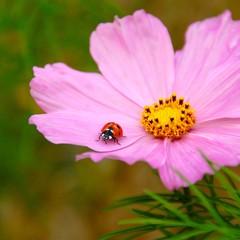 Marienkäfer auf einer Blüte