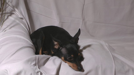 Close up shot of little dog russian toy terrier.