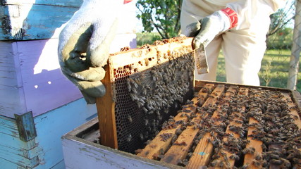 Beekeeper puts the honeycomb in a hive