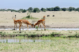 Beautiful Impalas