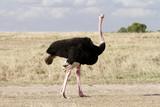 A beautiful male Ostrich, Masai Mara, Kenya