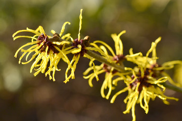 Hamamelis or witch-hazel in bloom in the Netherlands.