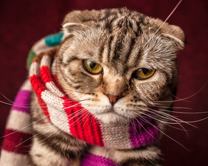 serious Scottish Fold cat in striped scarf prepares for winter
