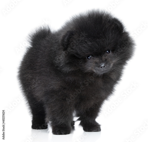 Pomeranian spitz puppy. Close-up portrait