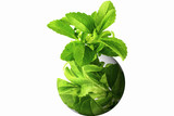 stevia herb with go green globe logo in white background