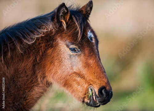 pony eating grass in a field