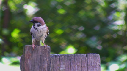 Sparrow on the fence with blurred green background