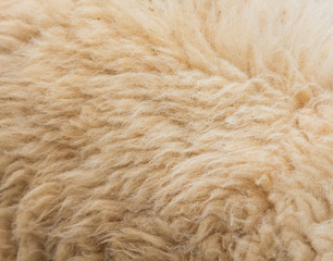 Textured of wool sheep closeup