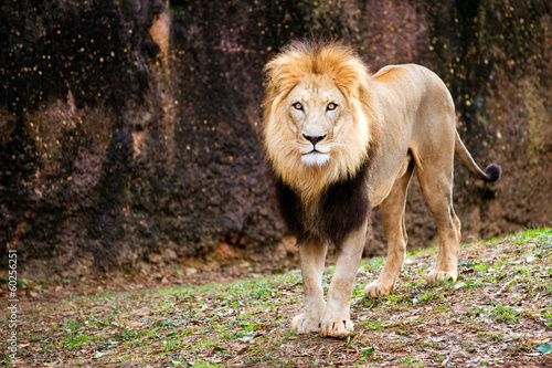 Foto op Plexiglas Leeuw Portrait of male lion walking