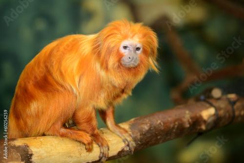 Deurstickers Aap Golden lion tamarin (Leontopithecus rosalia)