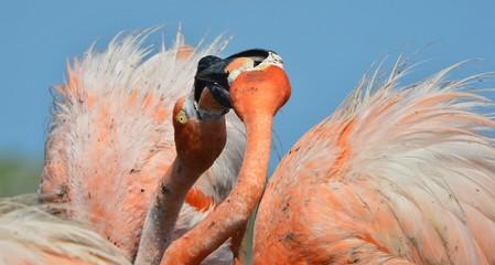 American Flamingo.