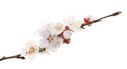 beautiful apricot blossom isolated on white.