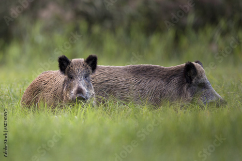 Boars in the clearing.