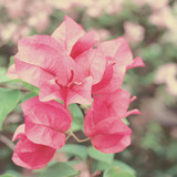 Bush of Bougainvillea flowers with retro filter effect