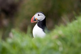 Puffin alone in the grass
