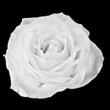 Fototapety Black and white Rose